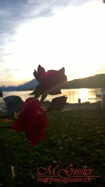 der Rosen Schein